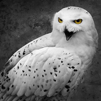 Photograph - Snowy Owl Calling by Ed Pettitt
