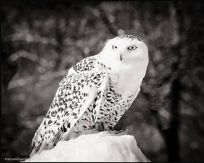 Lake Michigan Photograph - Snowy Owl Cold Stare Black And White by LeeAnn McLaneGoetz McLaneGoetzStudioLLCcom