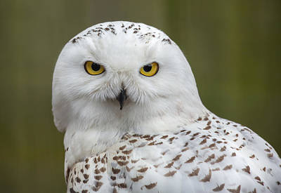 Photograph - Snowy Owl by Dale Kincaid