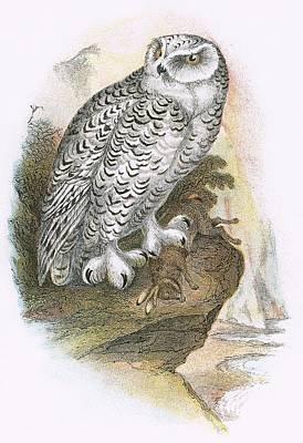 Owl Drawing - Snowy Owl by English School