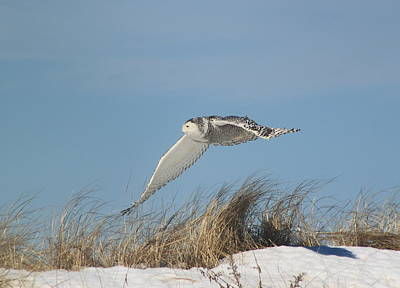 Photograph - Snowy Owl Flying Over Beach by John Burk