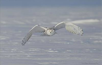 Snowy Owl Head On Art Print by Daniel Behm