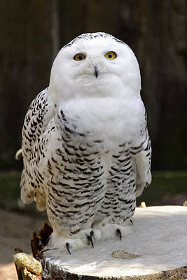 Biology Photograph - Snowy Owl by Heiti Paves