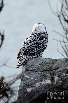Photograph - Snowy Owl I by Butch Lombardi