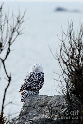 Photograph - Snowy Owl II by Butch Lombardi