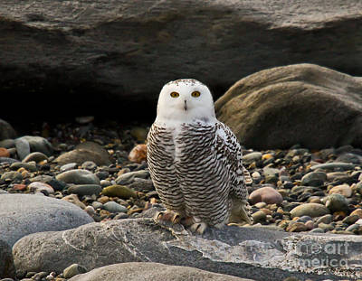 Photograph - Snowy Owl IIi by Butch Lombardi