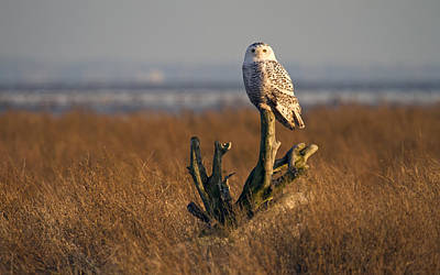 Photograph - Snowy Owl In Boundary Bay B.c by Pierre Leclerc Photography