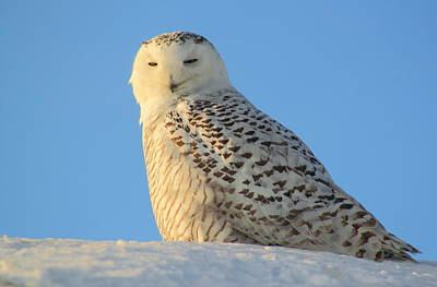 Photograph - Snowy Owl In Evening Light by John Burk