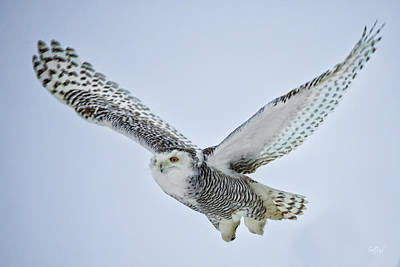 Snowy Owl In Flight Print by Everet Regal