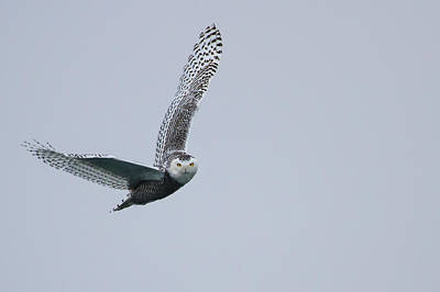 Snowy Owl In Flight Art Print by Gary Hall
