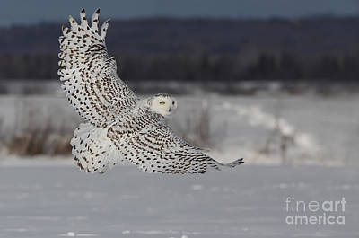 Snowy Owl In Flight Art Print by Mircea Costina Photography