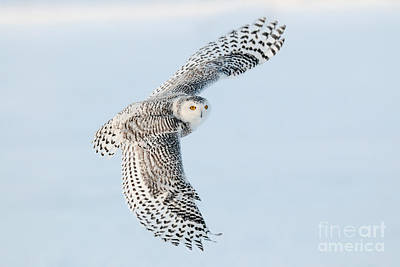 Quebec Fauna Photograph - Snowy Owl In Flight by Scott Linstead