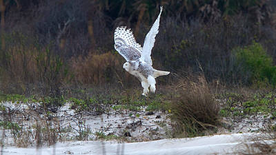 Photograph - Snowy Owl In Florida 10 by David Beebe