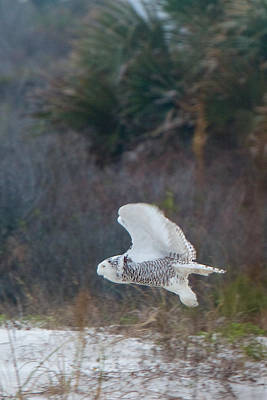 Photograph - Snowy Owl In Florida 11 by David Beebe