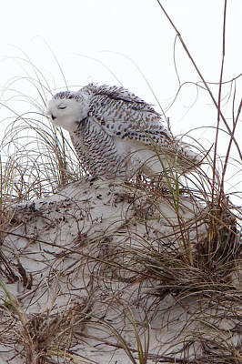 Photograph - Snowy Owl In Florida 13 by David Beebe
