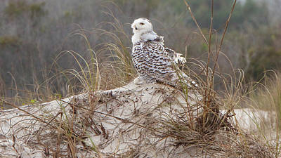 Photograph - Snowy Owl In Florida 14 by David Beebe