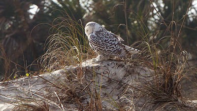 Photograph - Snowy Owl In Florida 15 by David Beebe