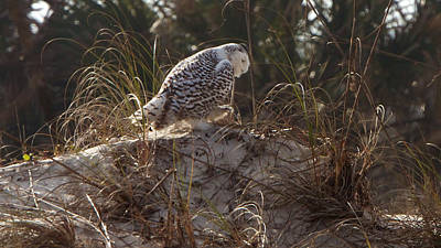 Photograph - Snowy Owl In Florida 16 by David Beebe