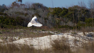 Photograph - Snowy Owl In Florida 18 by David Beebe