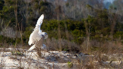 Photograph - Snowy Owl In Florida 20 by David Beebe