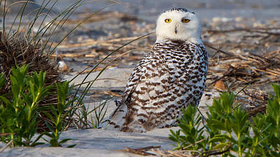 Photograph - Snowy Owl In Florida 24 by David Beebe