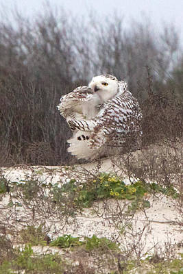 Photograph - Snowy Owl In Florida 4 by David and Patricia Beebe