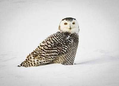 Photograph - Snowy Owl In Kenosha by Ricky L Jones
