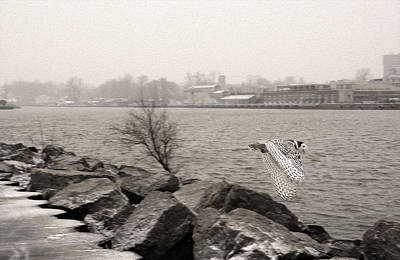 Charlotte Fine Art Photograph - Snowy Owl In Motion by Tracy Winter