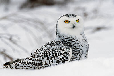 Snowy Owl Photograph - Snowy Owl In Snow, Michigan, Usa by Panoramic Images