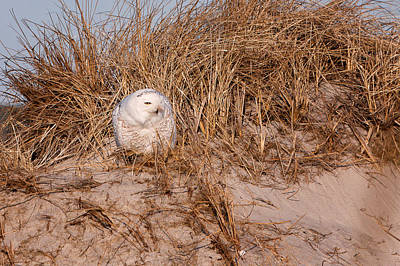 Photograph - Snowy Owl In The Dunes Hampton Beach Nh by Jeff Sinon