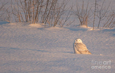 Owl Photograph - Snowy Owl In The Snow by Cheryl Baxter