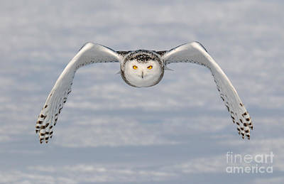Photograph - Snowy Owl Incoming by Scott Linstead