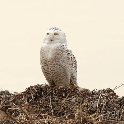 Photograph - Snowy Owl Iv by Butch Lombardi
