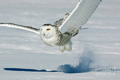 Photograph - Snowy Owl by Jim Zipp