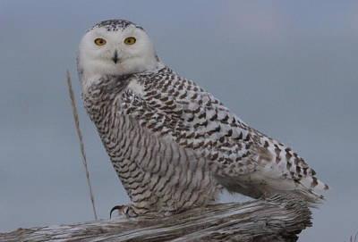 Photograph - Snowy Owl by Joe Sweeney