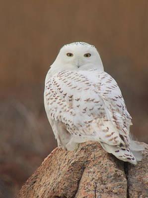 Photograph - Snowy Owl by John Burk