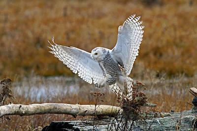 Photograph - Snowy Owl Landing by Shari Sommerfeld