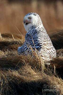 Photograph - Snowy Owl Mantling A Kill II by Butch Lombardi