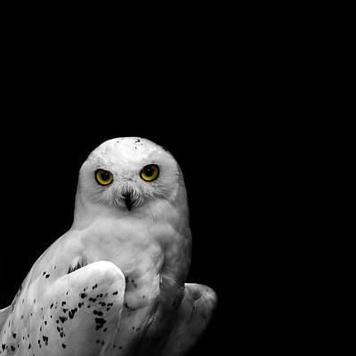 Snowy Owl Print by Mark Rogan