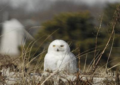 Photograph - Snowy Owl On Cape Cod by Amazing Jules