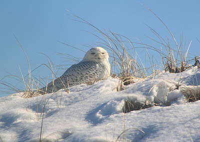 Photograph - Snowy Owl On Dune by John Burk