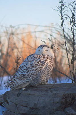 Photograph - Snowy Owl On Log by John Burk