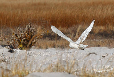 Traci Law Photograph - Snowy Owl On The Hunt by Traci Law