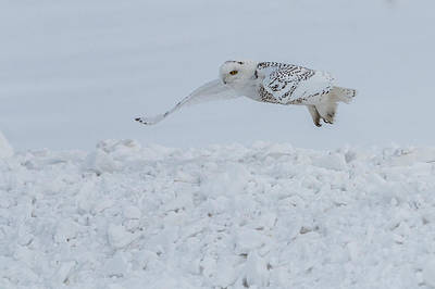 Art Print featuring the photograph Snowy Owl #1/3 by Patti Deters