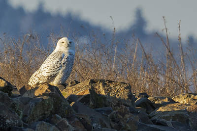 Photograph - Snowy Owl Perching On The Eastside Of A Bern by Belinda Greb