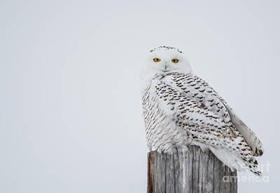 Snowy Owl Perfection Art Print