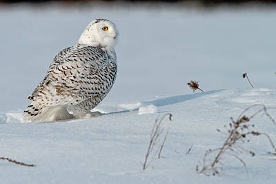 Snowy Owl Pictures 10 Art Print