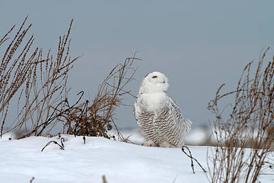 Snowy Owl Pictures 11 Art Print