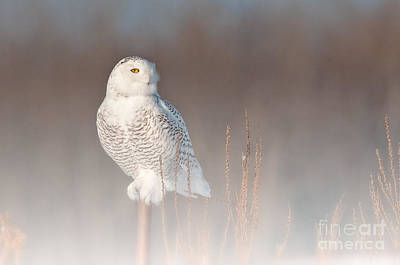 Photograph - Snowy Owl Pictures 12 by Michael Cummings