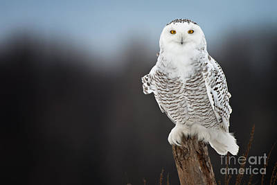 Photograph - Snowy Owl Pictures 13 by Michael Cummings